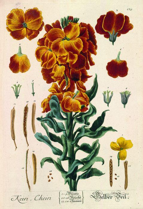 Elisabeth Blackwell - Herbarium. 6 Bde. 1750ff.