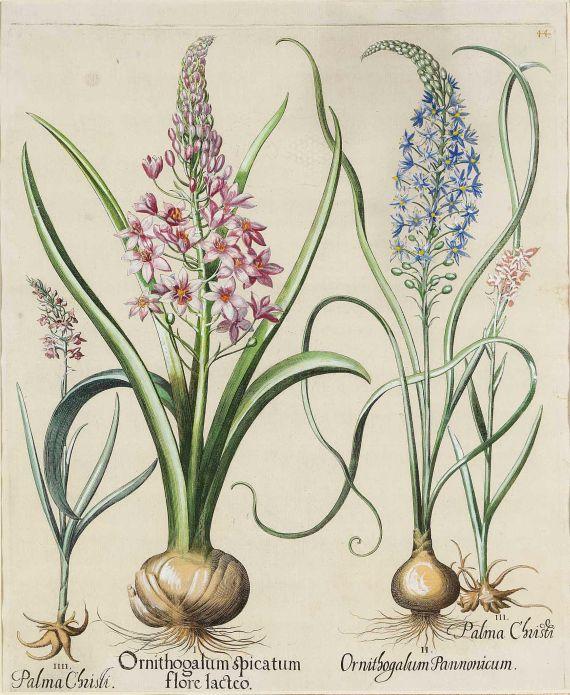 Basilius Besler - Ornithogalum spigatum flore Iacteo/Pyramiden-Milchstern.