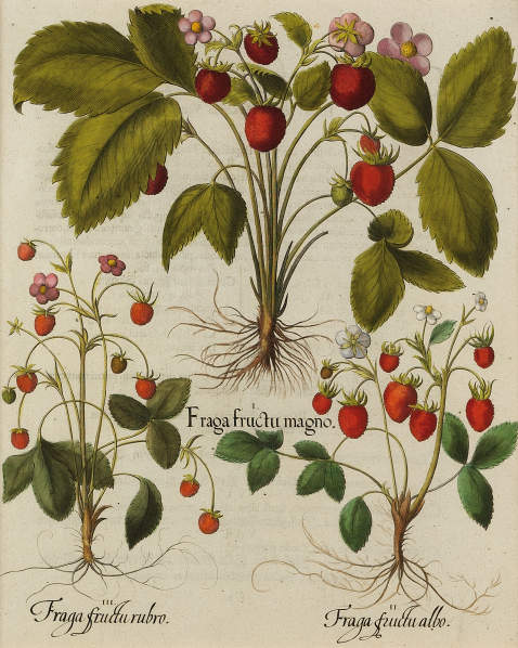 Basilius Besler - Fraga fructu magno/Großfrüchtige Erdbeere.