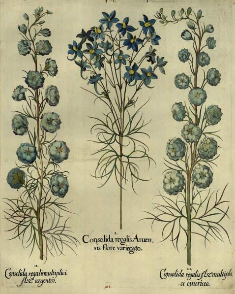 Basilius Besler - Consolida regalis Aruensis flore variegato/Hellblau panaschierter Feldrittersporn.