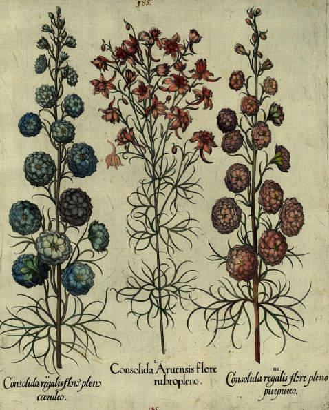 Basilius Besler - Consolida Aruensis flore rubropleno/Gefüllter, rosa blühender Feldrittersporn.