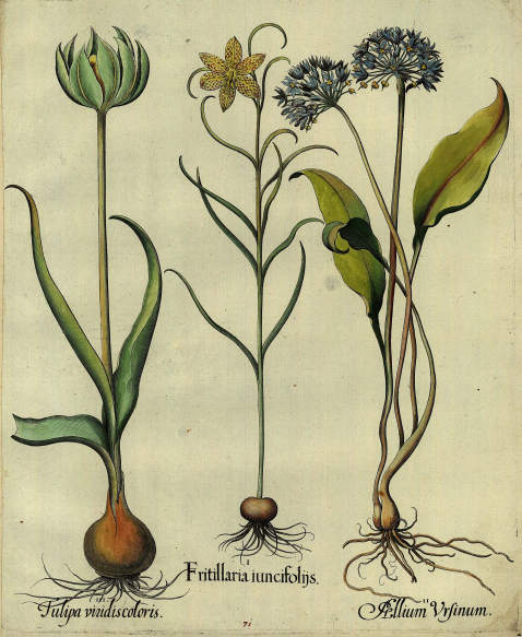 Basilius Besler - Fritillaria iuncifoliis/Fritillarie mit geöffneter Blüte.