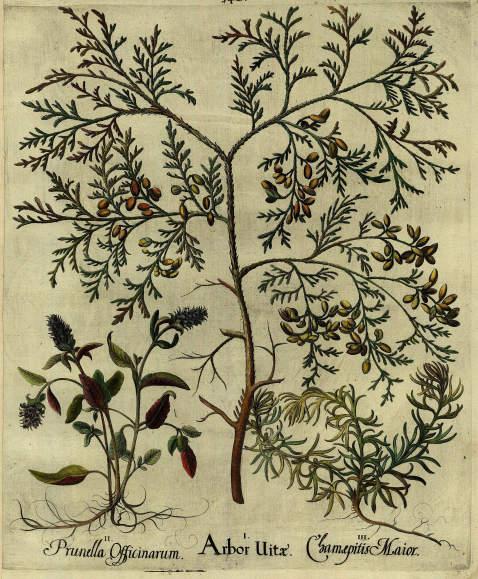 Basilius Besler - Arbor Uitae/Abendländischer Lebensbaum.