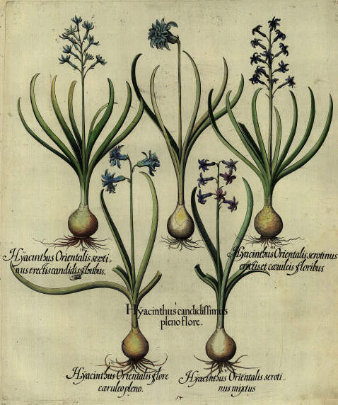 Basilius Besler - Hyacinthus candidissimus pleno flore/Gefüllte, weiße Hyazinthe.