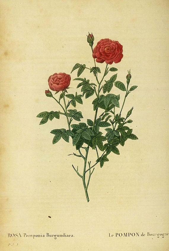 Pierre Joseph Redouté - Les roses. Bd. 2 (v. 3)