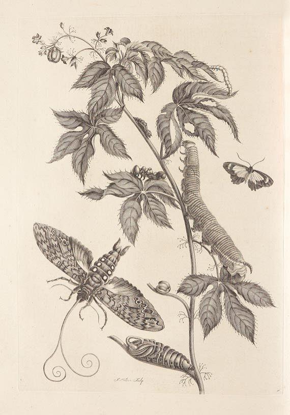 Maria Sibylla Merian - Surinaamsche Insecten. 1730 -