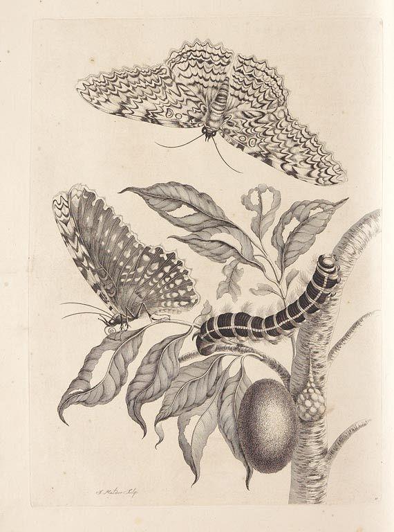 Maria Sibylla Merian - Surinaamsche Insecten. 1730