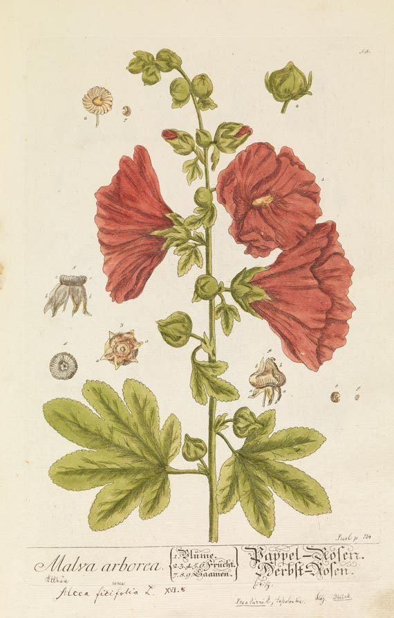 Elisabeth Blackwell - Herbarium Blackwellianum, 6 Bde. 1750.