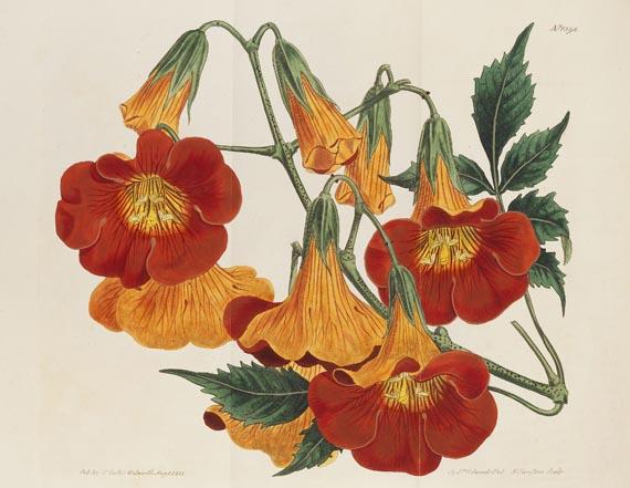 William Curtis - The botanical magazine, 1790-1838. Zus. 66 in 45 Bdn. - Weitere Abbildung