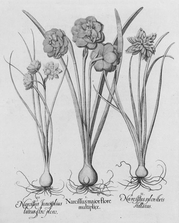 Basilius Besler - Hortus Eystettensis