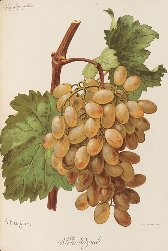 Pierre Viala - und V. Vermorel, Ampélographie. 1901-10. 7 Bde. - Weitere Abbildung