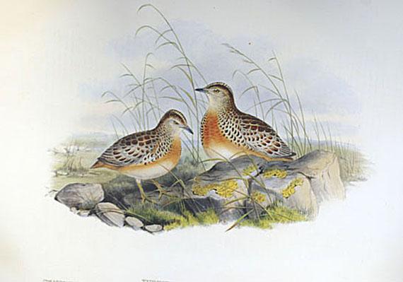 Gould, John - Faks.: Gould, J., Birds of Great Britain I u. IV + Mammals of Australia.