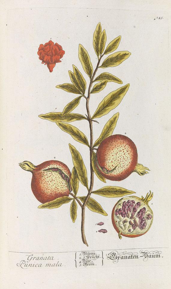 Elisabeth Blackwell - Herbarium Blackwellianum. 1748-75. 6 Bde. - Weitere Abbildung