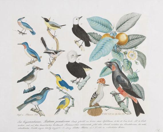 Aloys Zötl - Der Gujavenbaum. Psidium pomiferum (Vögel und Pflanzen)