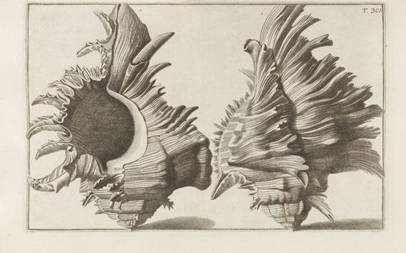 Nicolai Gualtieri - Index Testarum Conchyliorum. - Weitere Abbildung