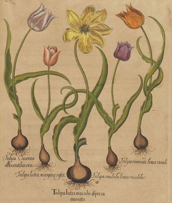 Basilius Besler - 4 Bll. Narzissen, Tulpen, Clematis, Physalis