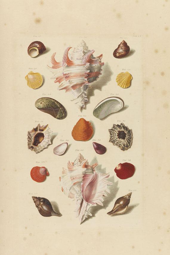 Franz Michael Regenfuß - Auserlesne Schnecken, Muscheln - Weitere Abbildung