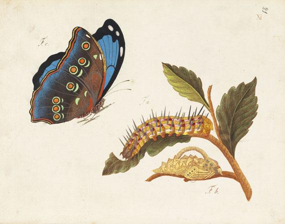 Schmetterlinge - Beschreibung in- und ausländischer Schmetterlinge