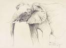 Wilhelm Kuhnert - Kopf eines Elefanten