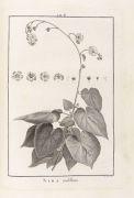 Charles Louis L'H�ritier de Brutelle - Stirpes novae. 1788
