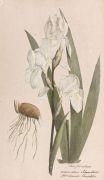 Theodor Friedrich Ludwig Nees von Esenbeck - Plantae medicinales oder Sammlung offizineller Pflanzen. 4 Bde. 1828