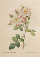 Pierre Joseph Redout� - Les roses. 2 Bde.