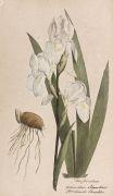 Theodor Friedrich Ludwig Nees von Esenbeck - Plantae medicinales oder Sammlung offizineller Pflanzen. 4 Bde.