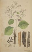 Nees van Esenbeck - Plantae medicinales oder Sammlung offizineller Pflanzen. Bd II