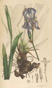 Nees van Esenbeck - Plantae medicinales oder Sammlung offizineller Pflanzen. Supplement Band