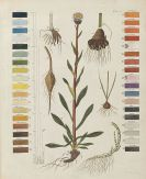 Friedrich Gottlob Hayne - Termini botanici