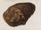 Franz Anton von Scheidel - Testudo Imbricata - Schuppenschild