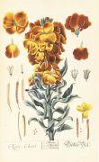Elisabeth Blackwell - Herbarium, 6 Centurien (Tafeln) in 2 Bdn.