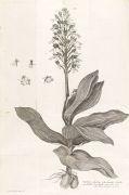 Albrecht von Haller - Icones Plantarum Helvetiae.