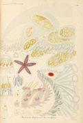- Ehrenberg,  Akalephen des rothen Meeres