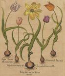 Besler, Basilius - 4 Bll. Narzissen, Tulpen, Clematis, Physalis