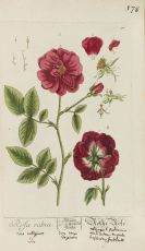 Elisabeth Blackwell - Herbarium, Cent. I-V in 2 Bänden (nur Tafeln).