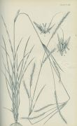 Vasey - North American Grasses. 2 Bde.