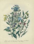 Jane C. Webb Loudon - British Wild Flowers. 1855